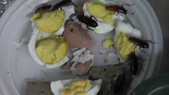 Самый быстрый способ избавиться от тараканов
