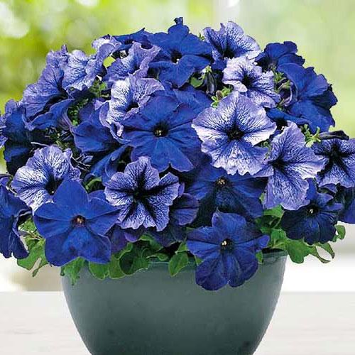 Синие и голубые петунии описание петуний Peppy Blue и Синий водопад Голубой плюш и Блю морн Фрост блю и других сортов