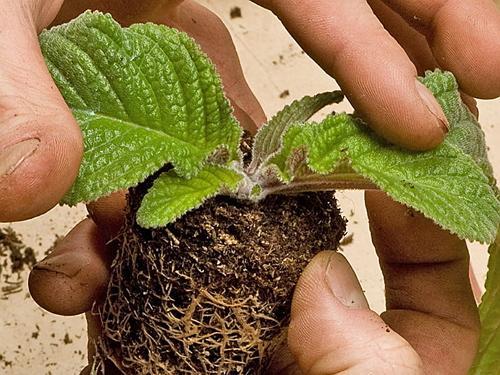 Укорачивание листьев стрептокарпуса