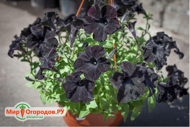 Петуния «Black Velvet»