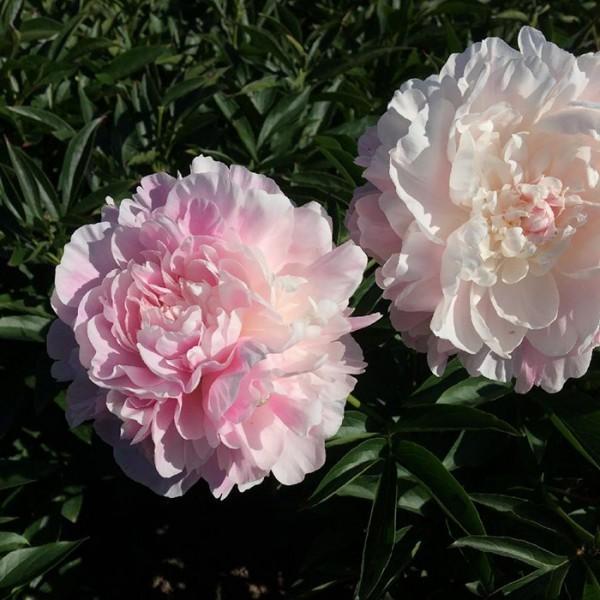 Нежно-розовые цветы