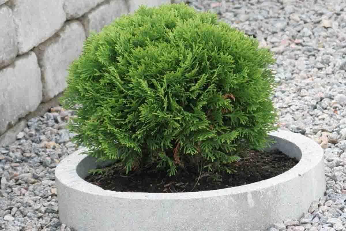 Туя Даника в ландшафтном дизайне, фото растения