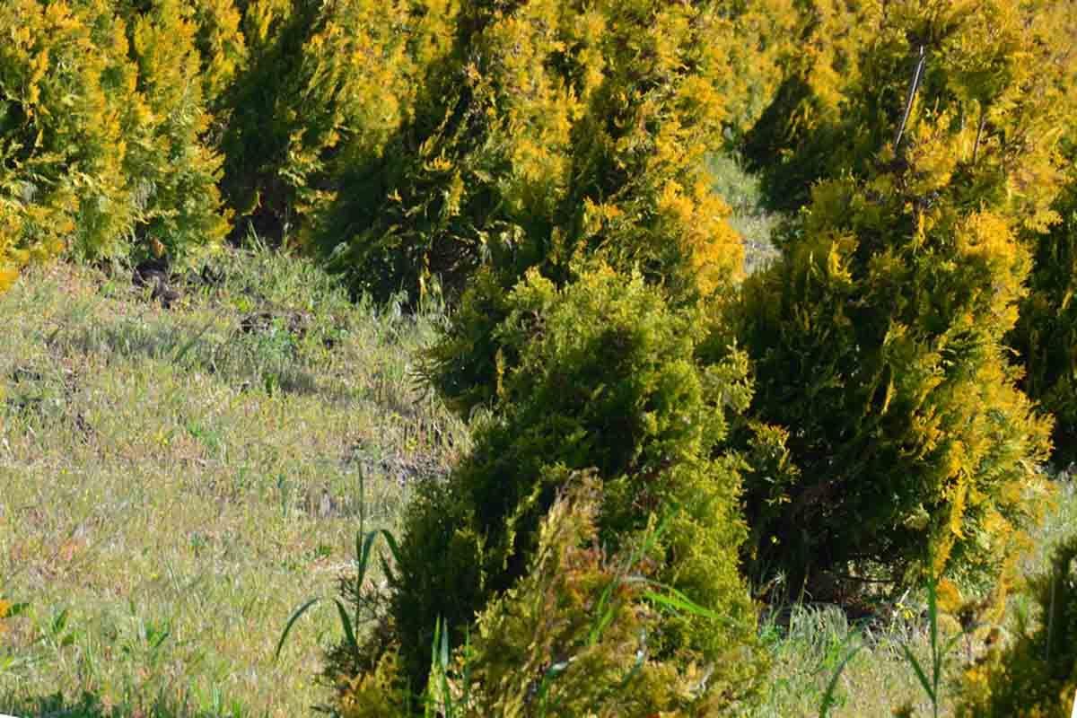 Красивая туя Санкист в ландшафтном дизайне - фото растения в питомнике