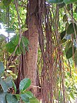 Ficus elastica1.jpg
