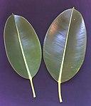 Ficus elastica leaves.JPG