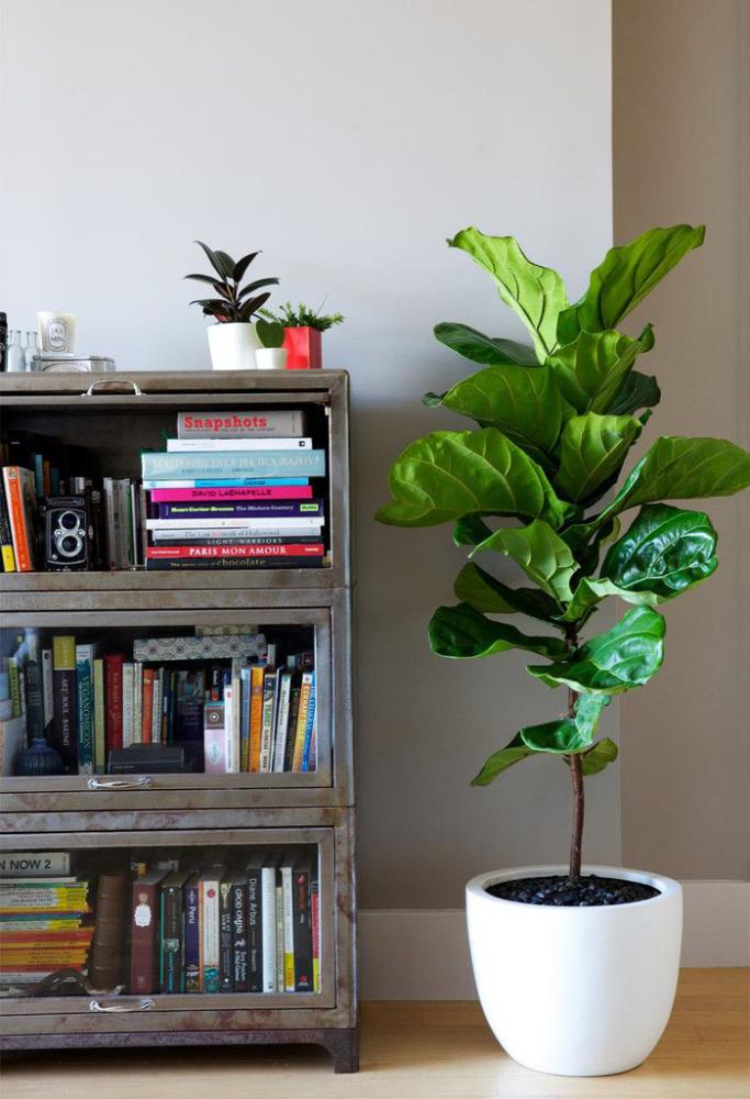 Фикусы (60+ фото видов с названиями): уход в домашних условиях — советы опытных цветоводов