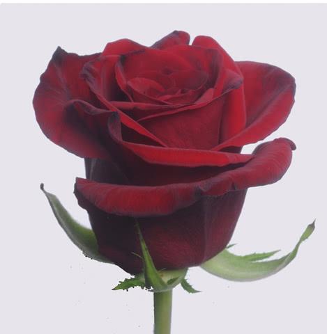 Роза сорта Гран при