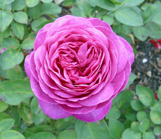 Хайди Клум сорт роз