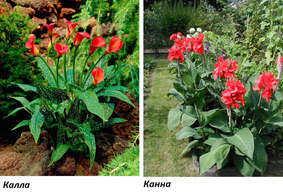 Каллы: описание, фото цветов, сорта для дома и сада