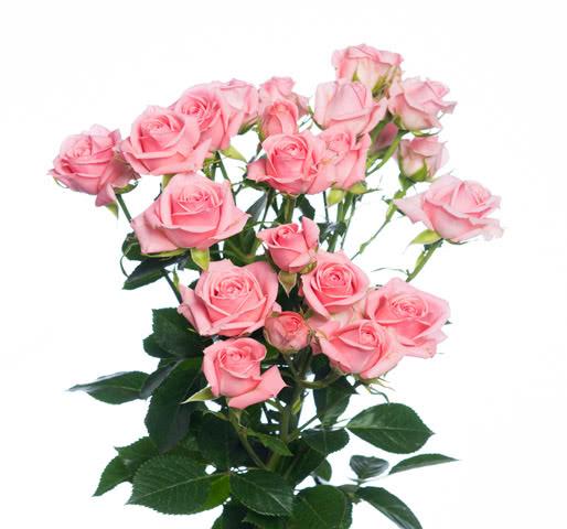 Одиллия розы
