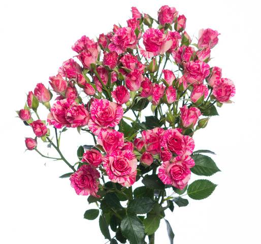 Розы сорта Пинк Флэш