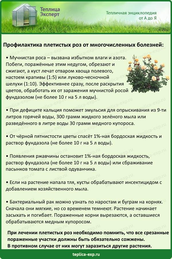Профилактика плетистых роз от многочисленных болезней