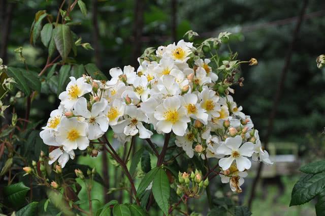 Сорт розы Росалита