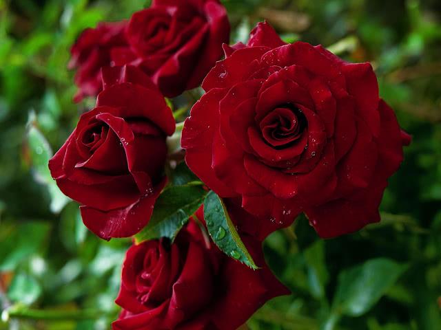 Сорт роз Черная магия