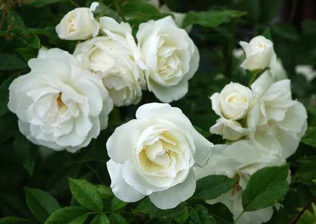 Сорт розы Айсберг