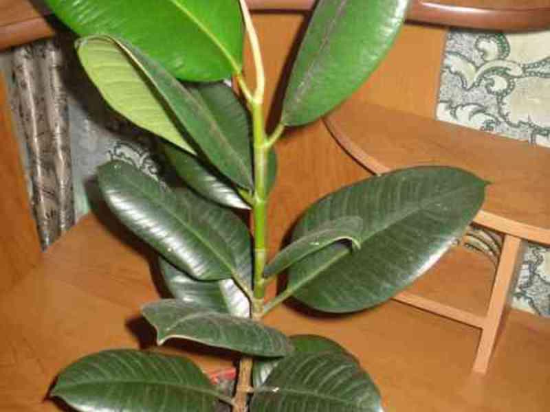 Выращивание каучуконосного фикуса