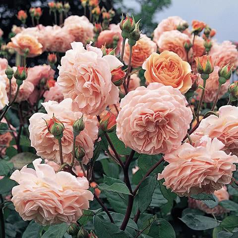 Сорт розы Леандр