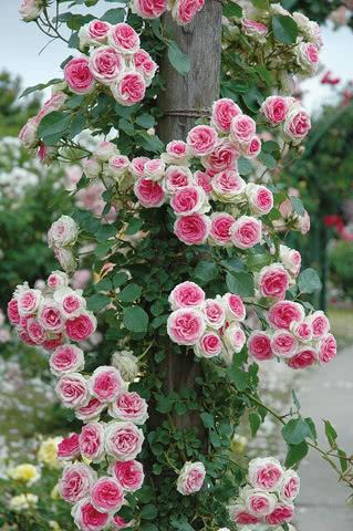 Мими Эден роза