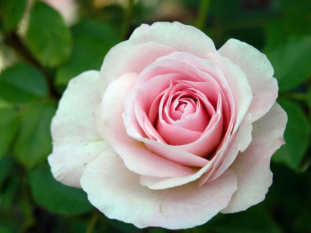 Сорт розы Морден Блаш