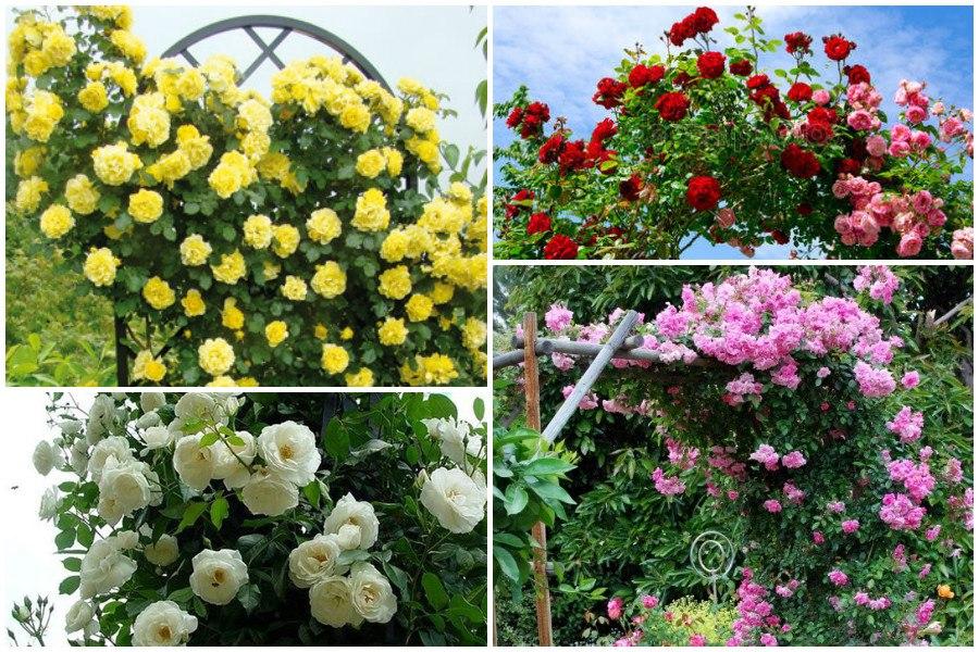 Желтые розы (33 фото): лучшие сорта желтых и красно-желтых роз с описанием. Особенности роз Мичурина «Мать Желтых» и других