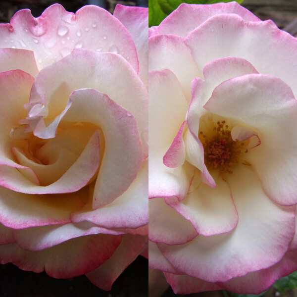 Climbing Rose Cultivar 'Handel'