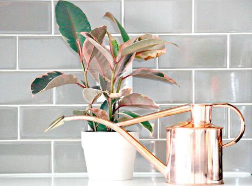 фикус эластика каучуконосный уход в домашних условиях