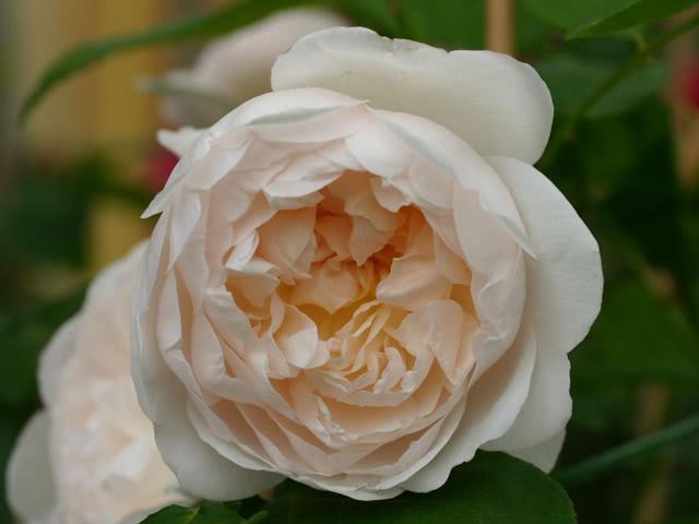 Сорт розы Глемис Кастл