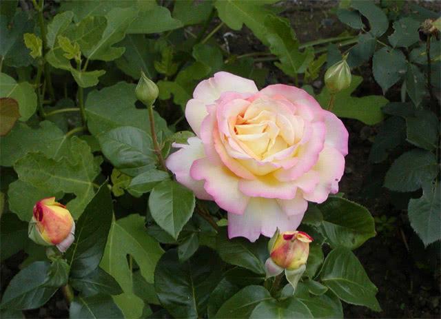 Розы Глория