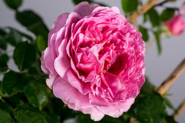 Роза сорта Принцесса Александра