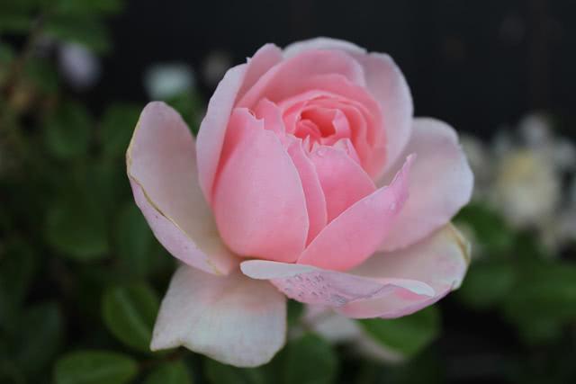 Роза сорта Золушка