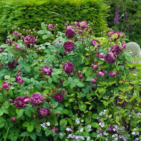Розы Кардинал де Ришелье