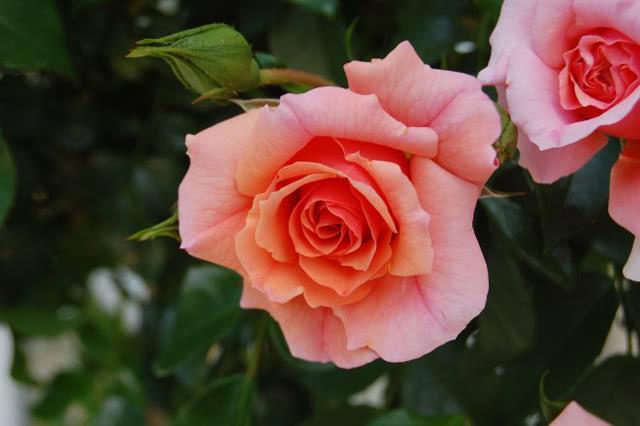 Сорт розы Априкола