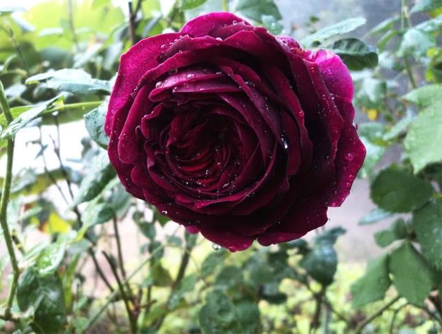 Сорт розы Чёрный принц