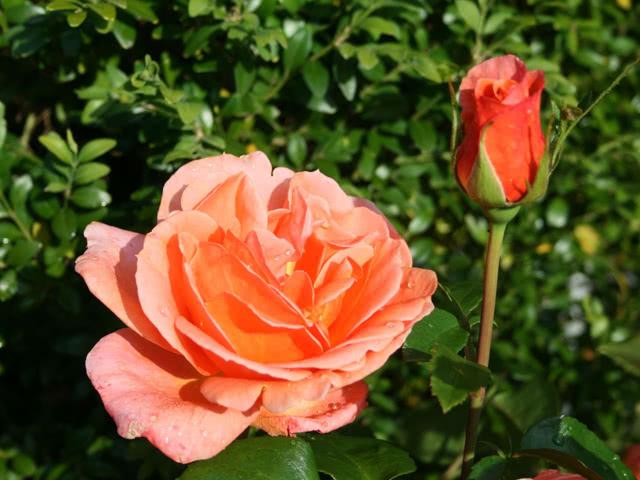 Роза сорта Черри-Бренди