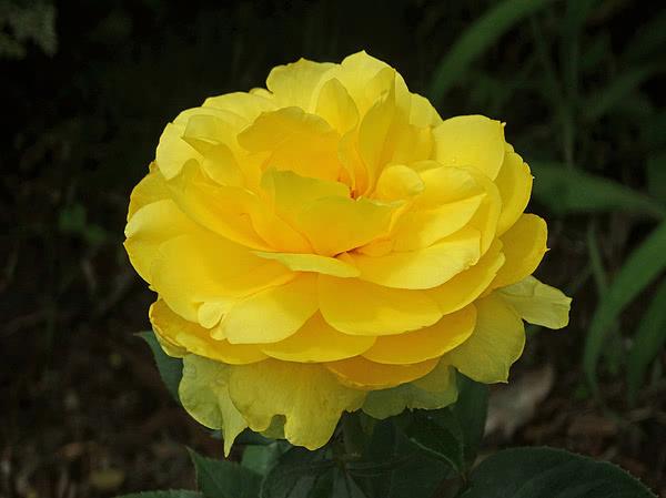 Роза Лемон голден глоу