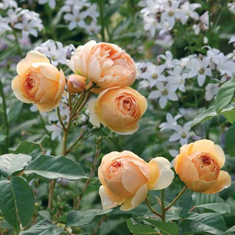 Сорт розы Джуд зе Обскур