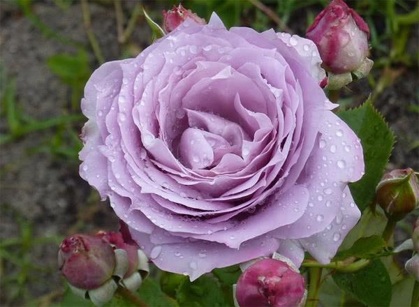 Роза сорта Новалис