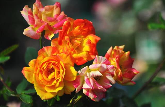 Сорт розы Тутти-Фрутти