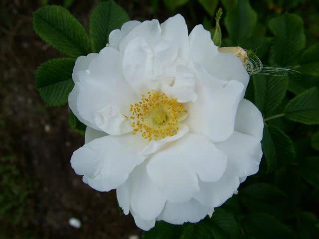 Розы Уайт Роудраннер