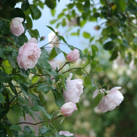 Сорт розы Дженероуз Гарденер