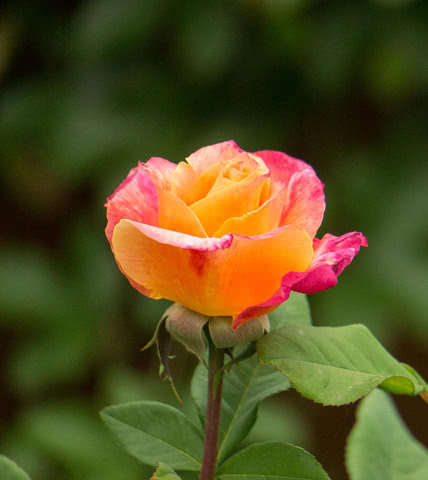 Роза Сансет