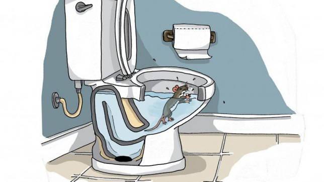 крыса в туалете